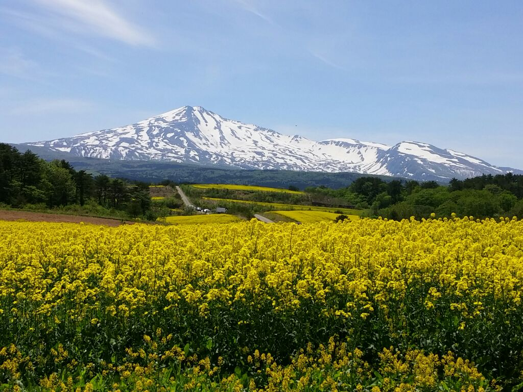鳥海高原菜の花