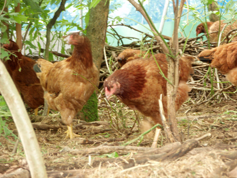 比内地鶏1