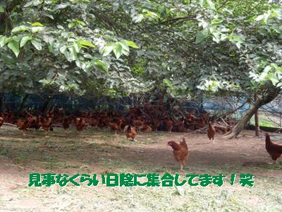 比内地鶏2