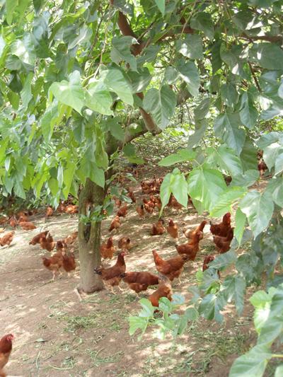 比内地鶏4