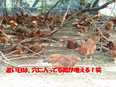 比内地鶏3