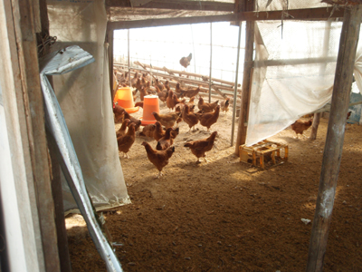 比内地鶏の鶏舎をチラっと覗くと