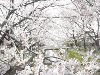 桜(2010.04.27b)