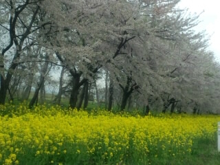 大潟村菜の花&桜