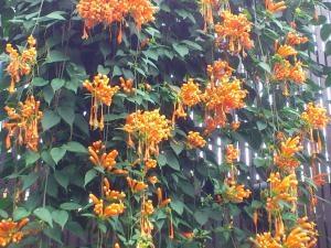 ラッパの花