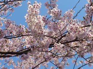 ハーブワールド前の桜03